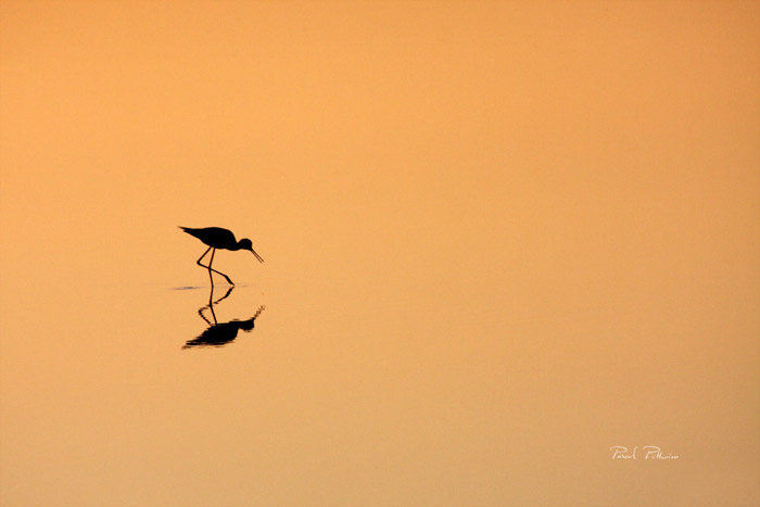 Silhouette d'echasse blanche  - Photo Pascal Pittorino
