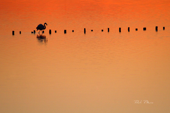 Silhouette de flamant rose - Pascal Pittorino